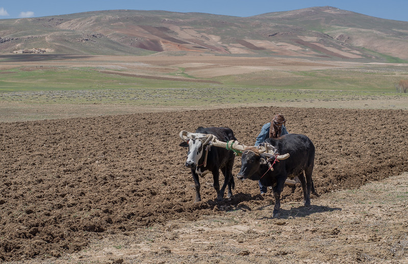 Afghan farmer guides two oxen plowing a dry field