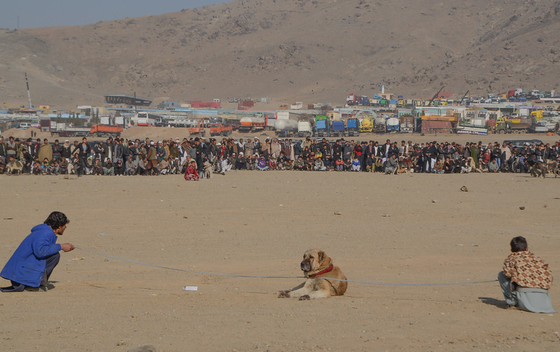 Dog fights, Kabul