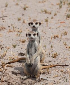 Makgadikgadi Pans, Botswana Two cute Meerkats at Makgadikgadi Pans.