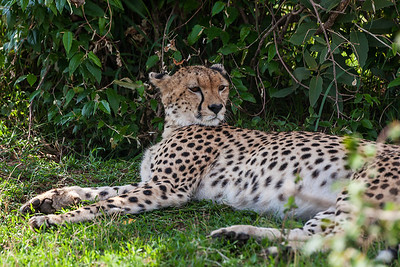 Masai Mara, Kenya A Cheetah rests under a tree.