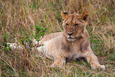 Masai Mara, Kenya Lion