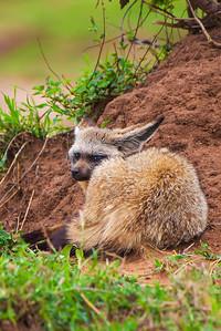 Masai Mara, Kenya Bat-eared Fox