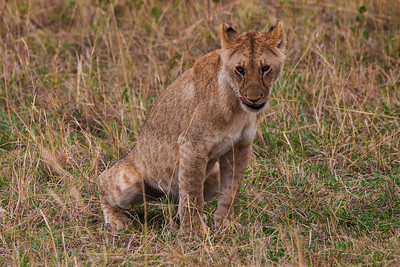 Masai Mara, Kenya A young lion stoops to pee.