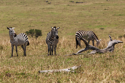Masai Mara, Kenya Every zebra has different stripes. This photo of Plains Zebras demonstrates how different hey are.