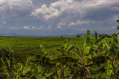 Malawi A tea plantation in Malawi.