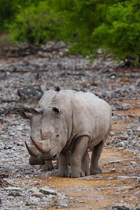 Etosha National Park, Namibia Two White Rhinos in Etosha National Park