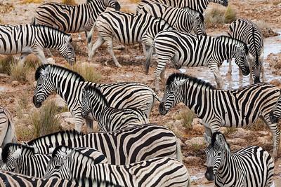 Etosha National Park, Namibia A herd of Plains Zebras in Etosha National Park.