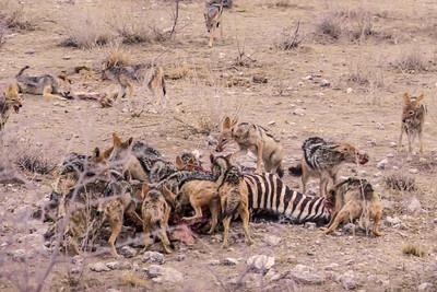 Etosha National Park, Namibia Jackals have a feeding frenzy after a lion kill in Etosha National Park.