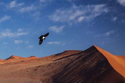 Namib Desert, Namibia A Pied Crow flies over the dunes of the Namib Desert near Sossusvlei.
