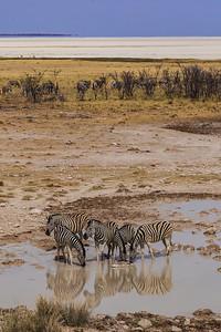 Etosha National Park, Namibia A herd of Plains Zebras drink at a water hole in Etosha National Park.