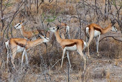 Etosha National Park, Namibia A small herd of Springbok in Etosha National Park.