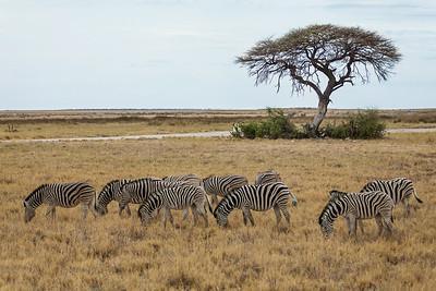 Etosha National Park, Namibia A herd of Plains Zebras graze in Etosha National Park.