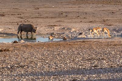 Etosha National Park, Namibia A Black Rhino drinks water next to some Springbok antelope at a water hole in Etosha National Park