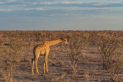 Etosha National Park, Namibia A Giraffe in Etosha National Park.