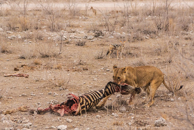 Etosha National Park, Namibia She drags the heavy zebra carcass away to share with her waiting cub in Etosha National Park.