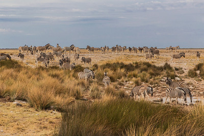 Etosha National Park, Namibia A herd of Plains Zebras at a water hole in Etosha National Park.