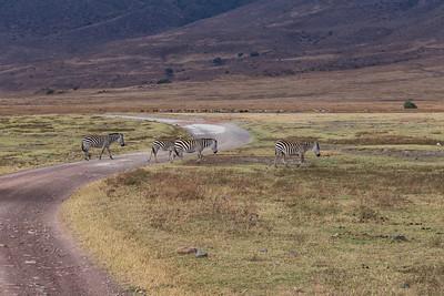 Ngorongoro Crater, Tanzania Plains Zebras cross the road in Ngorongoro Conservation Area.