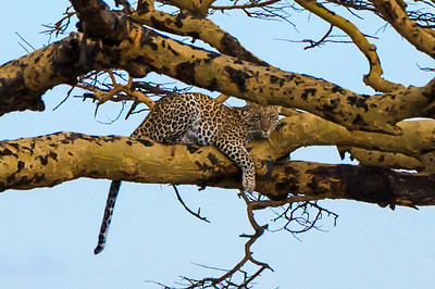 Serengeti National Park, Tanzania Close up of the Leopard sitting in a tree in Serengeti National Park.