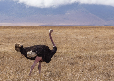 Ngorongoro Crater, Tanzania An Ostrich ready for mating in the Ngorongoro Conservation Area