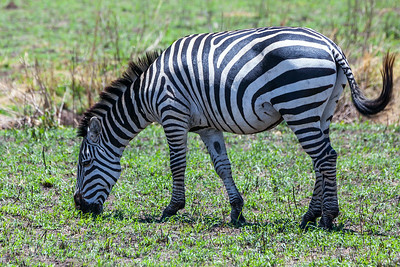Serengeti National Park, Tanzania A Plains Zebra in Serengeti National Park.