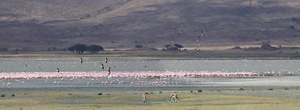 Ngorongoro Crater, Tanzania Flamingos and Antelope gather at Magadi Lake in Ngorongoro Crater.