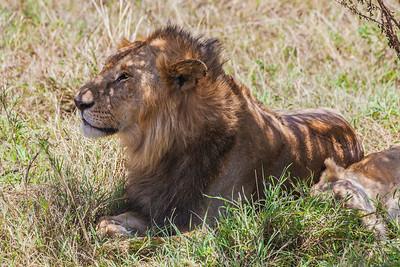 Serengeti National Park, Tanzania A lion on the Serengeti in Tanzania.