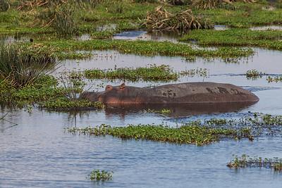 Ngorongoro Crater, Tanzania A hippo in Ngorongoro Conservation Area.