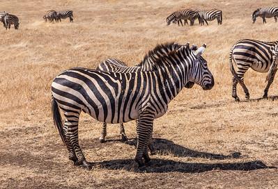 Ngorongoro Crater, Tanzania A Plains Zebra herd in Ngorongoro Conservation Area.