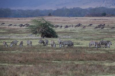 Ngorongoro Crater, Tanzania Plains Zebras graze in Ngorongoro Crater.