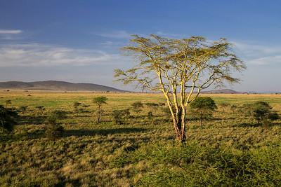 Serengeti National Park, Tanzania An Acacia Tree in the early morning light on the Serengeti in Tanzania.