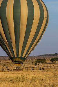 Serengeti National Park, Tanzania Landing in a herd of Cape Buffalo. The Cape Buffalo quickly ran from the balloon.