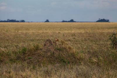 Serengeti National Park, Tanzania A Leopard sits on a Termite Mound in Serengeti National Park.