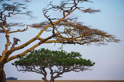 Serengeti National Park, Tanzania A Leopard sits in a tree in Serengeti National Park.