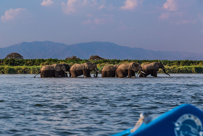Lower Zambezi River, Zambia A herd of elephants enjoy the waters of the lower Zambezi River.