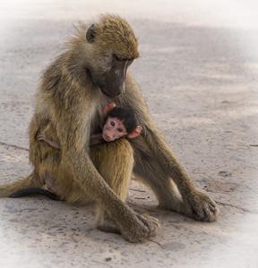 Victoria Falls, Zambia A baboon sits with its baby near the border station at the Zambia/Zimbabwe  border.