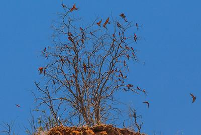 Lower Zambezi River, Zambia Carmine Bee-eaters were migrating as we traveled down the Zambezi River.