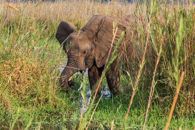 Lower Zambezi River, Zambia A baby elephant drinks from the water hole.