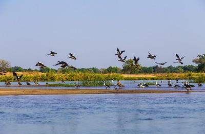 Lower Zambezi River, Zambia A flock of shorebirds taking off as we passed.