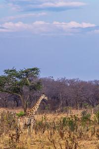 Hwange National Park, Zimbabwe A giraffe in Hwange National Park.