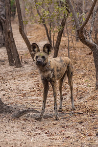 """Victoria Falls, Zimbabwe An African Painted Dog (Wild Dog) at the """"Painted Dog Conservation Center"""" outside Hwange National Park."""