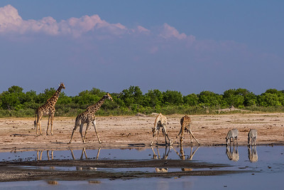 Hwange National Park, Zimbabwe Giraffes and zebras drink at a watering hole in Hwange National Park.