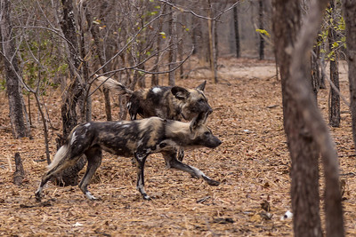 """Victoria Falls, Zimbabwe African Painted Dogs (Wild Dogs) at the """"Painted Dog Conservation Center"""" outside Hwange National Park."""
