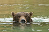 Brown Bear Snorkeling