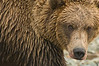 Brown Bear Closeup