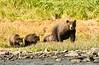 Brown Bears along shoreline