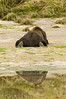 Brown Bear Rear View