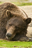 Brown Bear Closeup