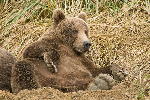 Chillin Out Brown Bear Cub