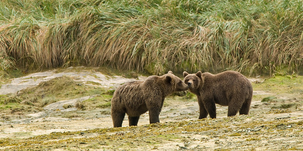 Brown Bears Kissing