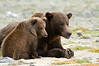 Brown Bears on Watch